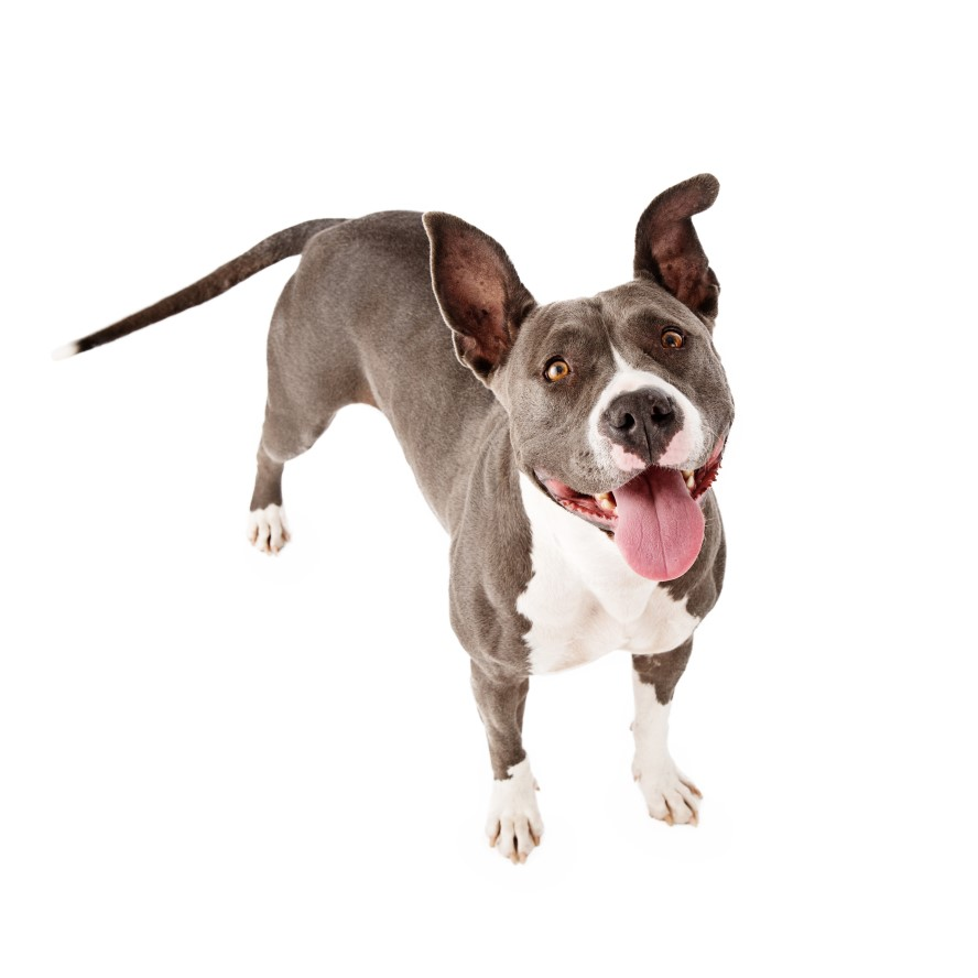 pit bulls Authorities released further details in the pit bull attack to answer skeptics.