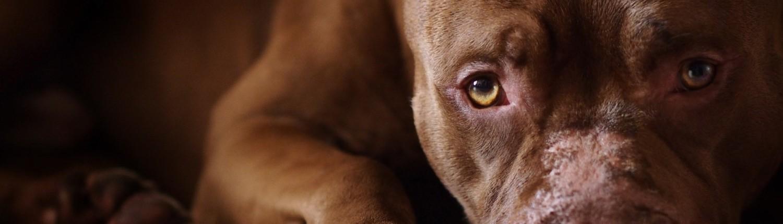Plenty of Pit Bulls | Pit Bull rescue, advocacy, education