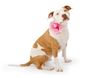 Plenty Of Pit Bulls Pit Bull Rescue Advocacy Education And